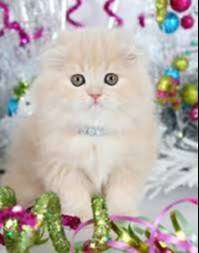 persian kitten for sale cash on delivery