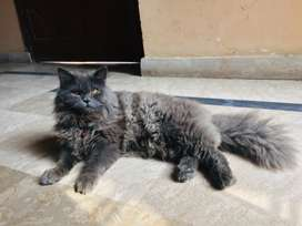 Persian Male 4Coat Smoke colour