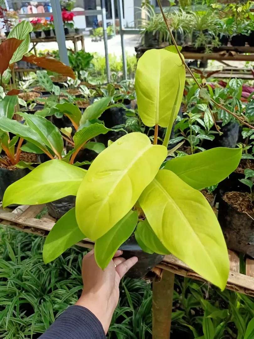 Tanaman Hias Philo Lemon