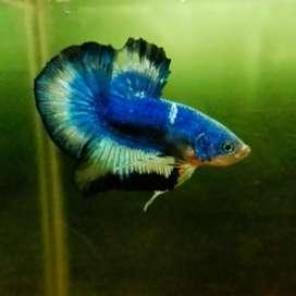 Ikan cupang / betta