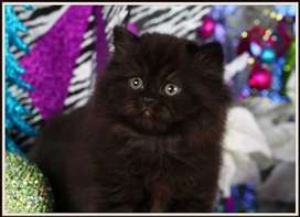 Punch face cat 5 courted stylish black smokey colour 2 month