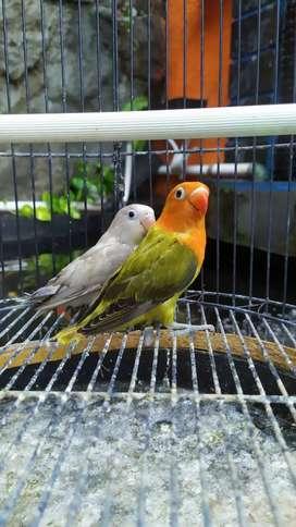 Burung lovebird biola green/pb betina 5 bulan