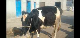 2nd timer cow for sale
