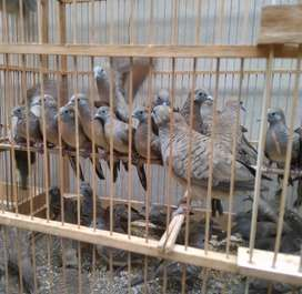 Burung perkutut lokal body yahud ada 50