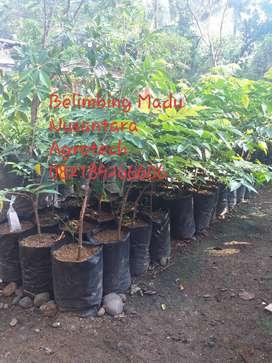 Bibit Belimbing Madu