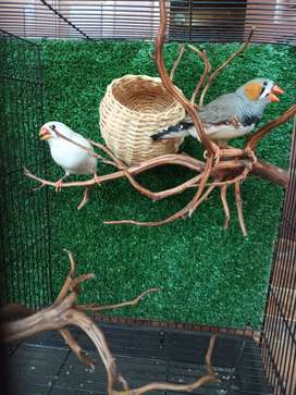 Burung import holland zebra finch jumbo sepasang gaan