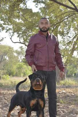 High quality and healthy rottweiler available for stud service