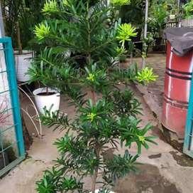 Jual pohon lohansung/tanaman lohansung