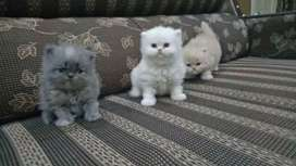 PeRsian Fluffy Baby's