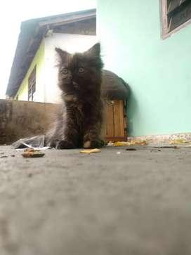 Kucing persia umur 3 bulan ad 1 cwe dan 1 cwo