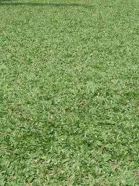 Rumput gajah mini hijau