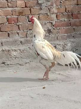 Aseel murgh for sale