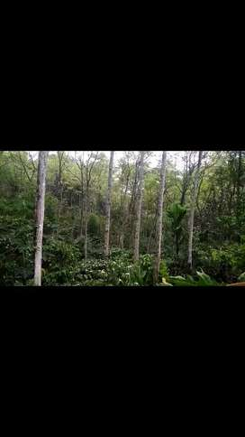 JUAL Tanah dan Kebun Kayu Suren/Surian