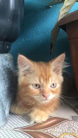 kucing persia orange