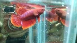 Ikan Cupang Super Red Plakat