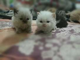 ~ peke/Persians, kittens/cats available ~