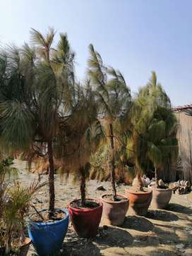 Pine (cheer) plants for sale in hyderabad sindh