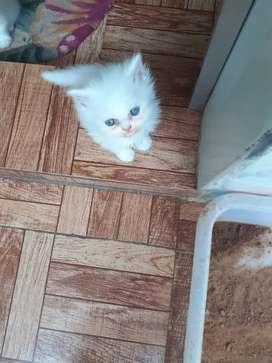 Blue eyes semipunch face full white Persian kitten