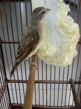 Burung MozSang (Hybrid Mozambik x Sanger)