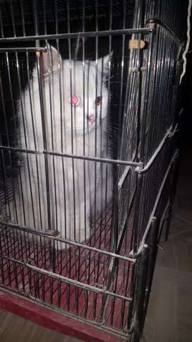 Blue Eye persian male (Read Add)