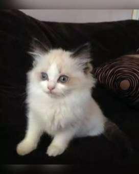 Anak Kucing Ragdol Bi Color Betina
