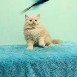 Kucing kitten persia betina (harga nett)