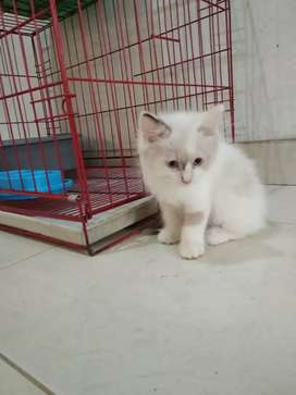 Kucing persia mix regdol