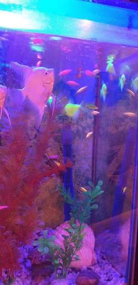 Glofishes for sale