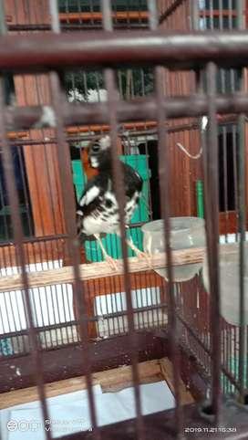 Burung Punglor Kembang