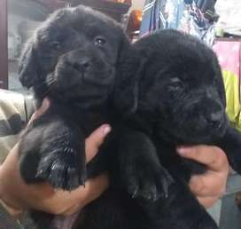 1 Non pedigree Labrador Male puppy final price 30000