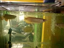 Jual ikan arwana golden red