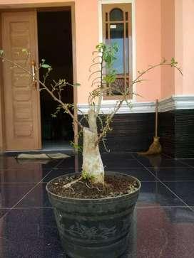bahan bonsai serut big