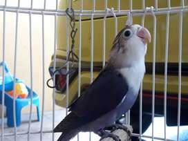 Lovebird paud vio fc