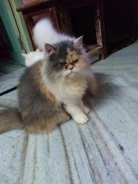 Wite Tabby kitten