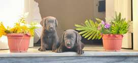 Lab pups available