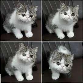 Kucing Exotic Jantan