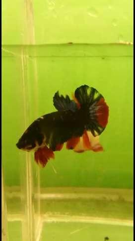 Ikan Cupang Hias Black Avatar