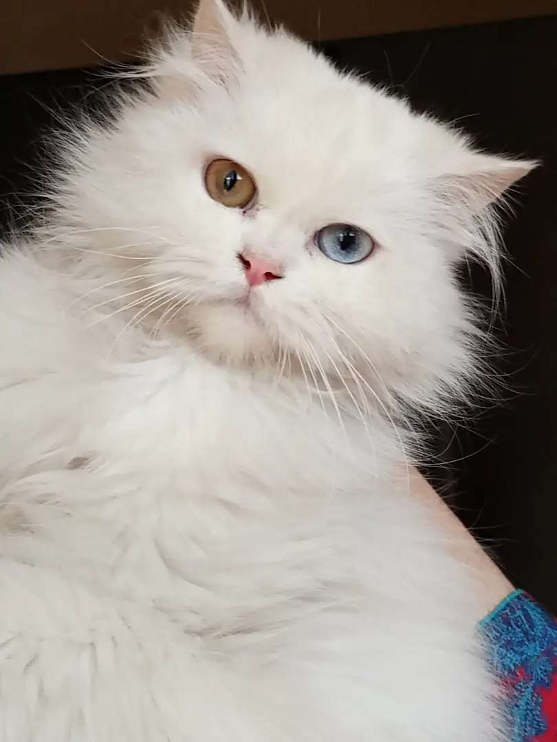 Triple coated pure persian cat double eye clr ( blue and golden)