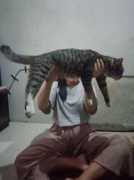 kucing mix domestik