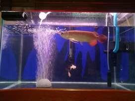arwana super red 27 cm
