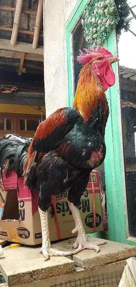 Ayam pelung jumbo