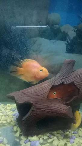 Parrot cichlid breeder pair nd yellow electric cichlid pair