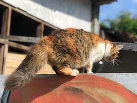kucing persia super kemonceng hamil
