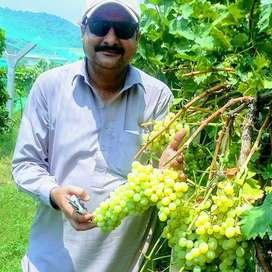Grapes seedless grapes plants far sale