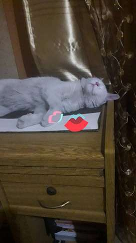 Persian Cat for sale in Lahore