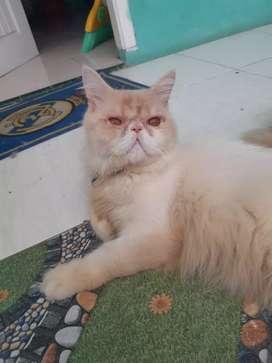 Kucing peaknose badan besar sehat jantan