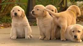 Show class british labrador pups from pedigree parents best quality
