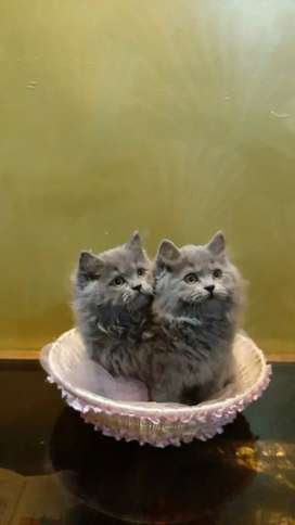 Persian Cats and Kitten