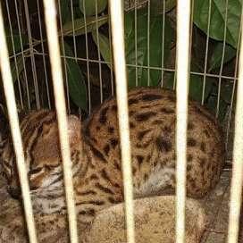 kucing hutan rodang
