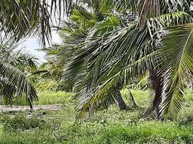 Coconut farm of 6.75 acres for sale